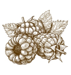 engraving raspberry vector image