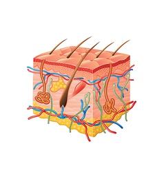 human skin anatomy isolated vector image vector image