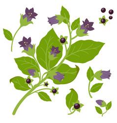 Belladonna plant vector