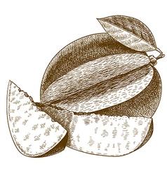 Engraving mango vector