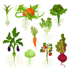 flat set of vegetables with roots healthy vector image
