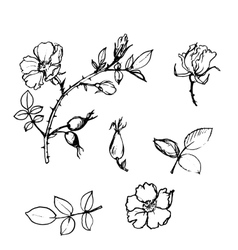 wild rose tree branch with leaves and vector image vector image