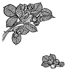 nuts brunch vector image