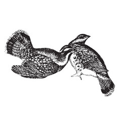 Ruffed grouse vintage vector