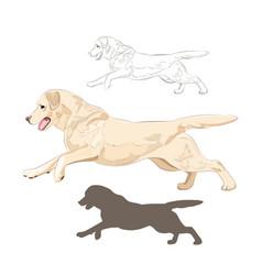 labrador dog running isolated on white background vector image