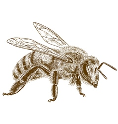Engraving honey bee vector