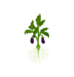 bush with roots ripe eggplants and green leaves vector image