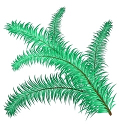 Twig of evergreen vector image