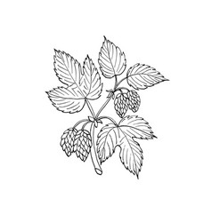 common hop branch vector image