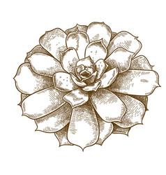 engraving echeveria lilacina vector image