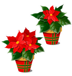 The flowering poinsettia plants in pots isolated vector