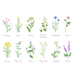 Wild herbs set with names isolated wildflowers vector