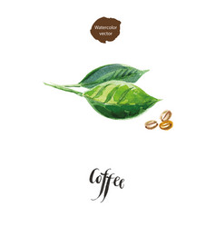 green leaves of coffee and coffee beans vector image