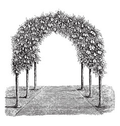 Pear tree arbor vintage vector