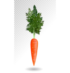 realistic carrot isolated on tranparent vector image