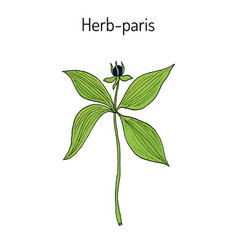 herb-paris or true lover s knot paris quadrifolia vector image