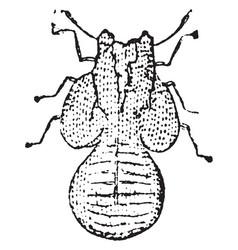 Larva of psylla pyrisuga vintage vector