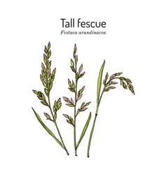 Tall fescue festuca arundinacea ornamental and vector