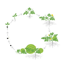 Crop watermelon plant circular round growth vector