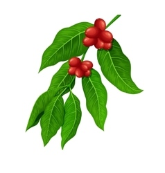 Coffee branch coffee plant with coffee leaf vector
