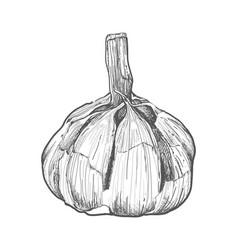 Garlic herbs hand-drawing style vector