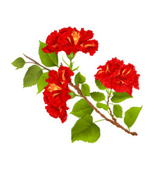 red hibiscus branch tropical flowers on a white vector image