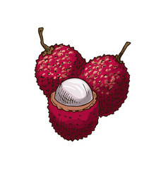 lychee fruit sketch isolated icon vector image
