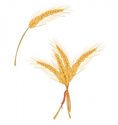 wheat as agriculture symbol vector image vector image