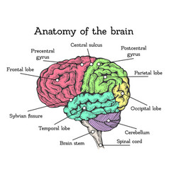 Brain anatomy color scheme vector