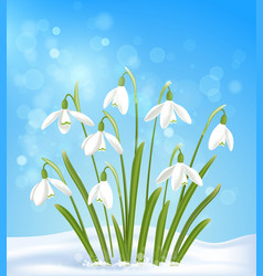 White snowdrops in snow on a blue background vector