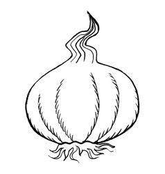 bulb of garlic vector image vector image