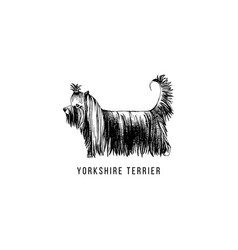 hand drawn yorkshire terrier vector image
