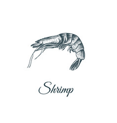 Shrimp sketch hand drawing vector