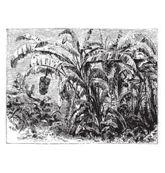 Banana plant vintage vector