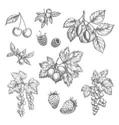 Sketch icons of fresh berries and fruits vector