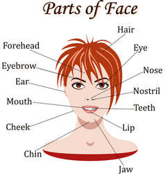 Vocabulary of face parts for lessons vector