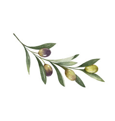 Watercolor olive branch with leaves and vector