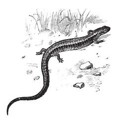 Red back salamander vintage vector