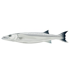 Barracuda - Sphyraena genus vector image