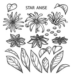 Graphic star anise vector