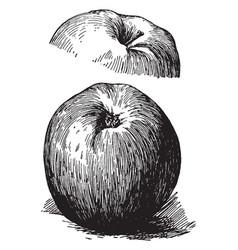 Esopus apple vintage vector