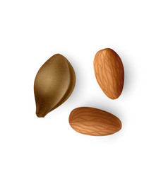 Apricot kernel realistic apricot pits almond nuts vector