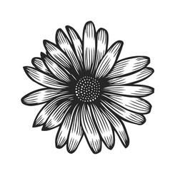 hand drawn chamomile vector image