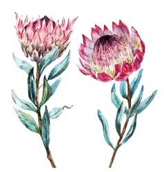 Watercolor tropical flower protea vector image