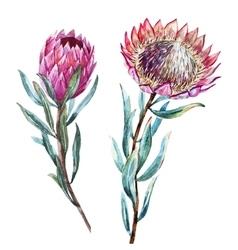 Watercolor tropical flower protea vector image