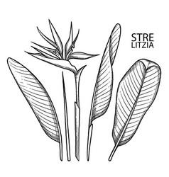Graphic strelitzia collection vector