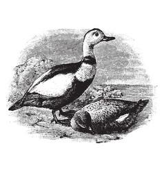Labrador ducks vintage vector