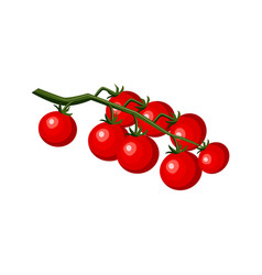 ripe raw tomatos with leaves on branch icon vector image
