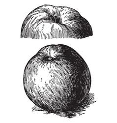 Northern spy apple vintage vector