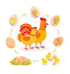 Chicken life cycle embryo development from egg to vector